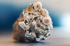 Primer en una concha marina Fotografía de archivo libre de regalías