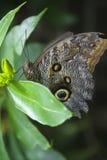 Primer en una mariposa. Imagen de archivo libre de regalías