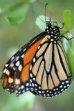 Primer en una mariposa. Imagen de archivo