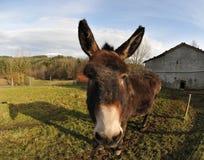 Primer en una pista de un burro Foto de archivo libre de regalías