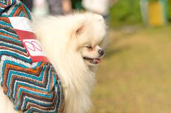 Primer esquimal americano del perro de Pomerania foto de archivo