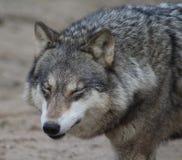 Primer europeo del lobo Fotografía de archivo libre de regalías