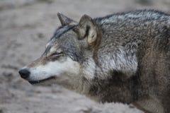Primer europeo del lobo Foto de archivo libre de regalías