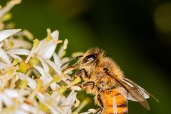 Primer extremo - abeja por completo del polen que recoge el néctar Fotos de archivo
