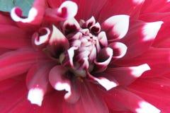 Primer extremo de la flor grande Foto de archivo