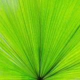 Primer extremo de la hoja verde fresca como fondo Fotografía de archivo libre de regalías