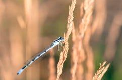 Primer extremo de la libélula en prado Imagen de archivo libre de regalías