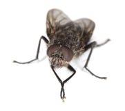 Primer extremo de la mosca de la casa aislado en blanco Fotos de archivo