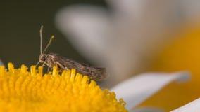 Primer extremo de qué aparece ser una especie de la polilla que alimenta en un wildflower del amarillo y blanco cerca del río de  imágenes de archivo libres de regalías