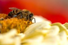Primer extremo de una abeja que recoge el polen de la flor Imagen de archivo libre de regalías