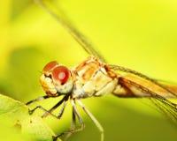 Primer extremo en ojos de la libélula Imagenes de archivo