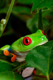 Primer Eyed rojo de la rana de árbol Fotografía de archivo libre de regalías