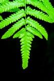 Primer Fern Leaf verde en fondo negro Imagenes de archivo