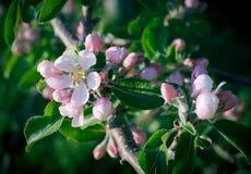 Primer flor de Apple de la primavera Fotos de archivo libres de regalías