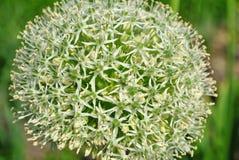Primer floreciente de la flor Imagen de archivo libre de regalías
