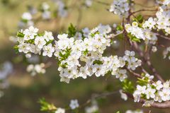 Primer floreciente de las flores fotografía de archivo libre de regalías