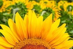 Primer floreciente del girasol en los rayos del sol del verano Imagen de archivo libre de regalías