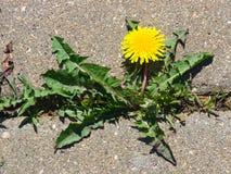 Primer floreciente del officinale del Taraxacum del diente de león común en el camino, bordes suaves, foco selectivo, DOF bajo Foto de archivo libre de regalías