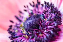 Primer floreciente hermoso de la flor de la anémona Foto macra de una flor pintoresca Flor roja con el centro azul-púrpura imagenes de archivo