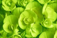 Primer floreciente verde de la flor de la begonia Imágenes de archivo libres de regalías