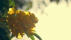 Primer, flores amarillas brillantes en ramas verdes, contra el sol contra el cielo Flores amarillas egipcias en los árboles metrajes