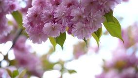 Primer, flores de cerezo en los rayos de la luz del sol Flores rosadas hermosas, delicadas en el ?rbol Sakura floreciente, metrajes