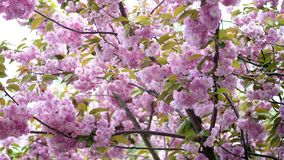 Primer, flores de cerezo Flores rosadas hermosas, delicadas en el árbol Sakura floreciente, almacen de video