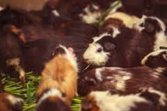Primer, foco selectivo en los conejillos de Indias blancos, rojo marrón que comen el alimento para animales verde de la verdura d Foto de archivo libre de regalías