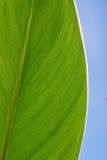 Primer fresco verde claro de la hoja fotografía de archivo libre de regalías