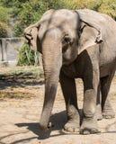Primer Front Profile del elefante asiático fotos de archivo libres de regalías