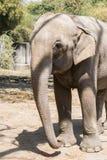 Primer Front Profile del elefante asiático imágenes de archivo libres de regalías