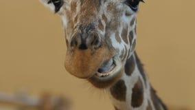Primer grande de la cabeza de la jirafa, vista delantera metrajes