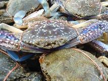 Primer grande del cangrejo del mar Fotos de archivo libres de regalías