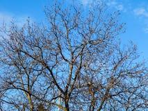 Primer grande hermoso del árbol con el cielo azul Imagen de archivo