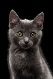 Primer Gray Kitty Looking in camera en negro Foto de archivo