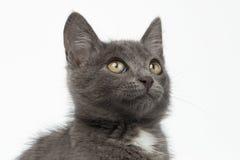 Primer Gray Kitty Looking Up en blanco Foto de archivo