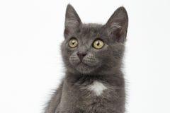 Primer Gray Kitty Looking Up en blanco Fotografía de archivo