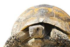 Primer griego del turtoise sobre blanco Imágenes de archivo libres de regalías