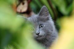 Primer gris de la cara del gatito del smokey lindo en los arbustos foto de archivo