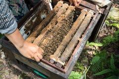 Primer guardado ser humano de la colmena con las manos del hombre Recogida de la miel de jerarquía de la abeja imagenes de archivo