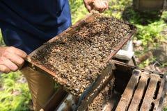 Primer guardado ser humano de la colmena con las manos del hombre Recogida de la miel de jerarquía de la abeja foto de archivo libre de regalías