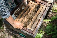 Primer guardado ser humano de la colmena con las manos del hombre Recogida de la miel de jerarquía de la abeja fotografía de archivo