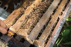 Primer guardado ser humano de la colmena con las manos del hombre Recogida de la miel de jerarquía de la abeja imagen de archivo libre de regalías
