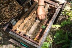 Primer guardado ser humano de la colmena con las manos del hombre Recogida de la miel de jerarquía de la abeja imagen de archivo
