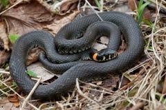 Primer herboso de la serpiente fotos de archivo libres de regalías