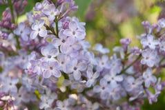 Primer hermoso de la rama de la lila Lila Foto de archivo