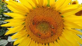 Primer hermoso de los girasoles con las abejas Imágenes de archivo libres de regalías