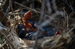 Primer hermoso de los pájaros de bebé rojo-patilludos del bulbul en jerarquía foto de archivo libre de regalías