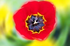 Primer hermoso de los tulipanes Imagen de archivo