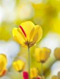 Primer hermoso de los tulipanes Foto de archivo libre de regalías